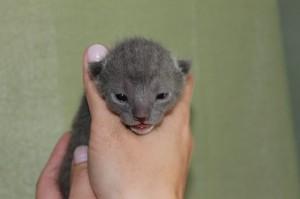 Russisch Blau von Malyschka - Kitten E-Wurf weiblich