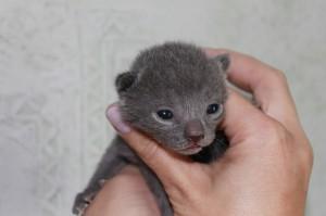 Russisch Blau von Malyschka - Kitten F-Wurf männlich